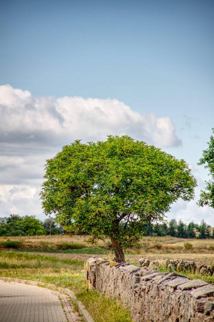 Baum am Feldrand Lunow